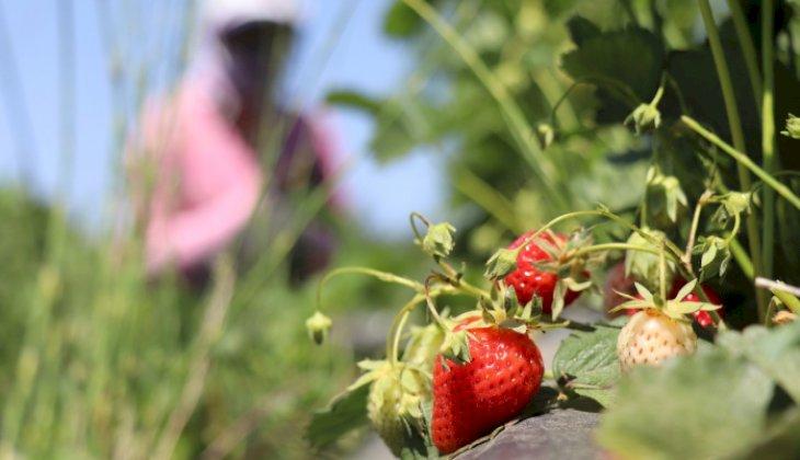Kendine özgü aroması ve rengiyle ünlü Buldan çileğinde hasat başladı