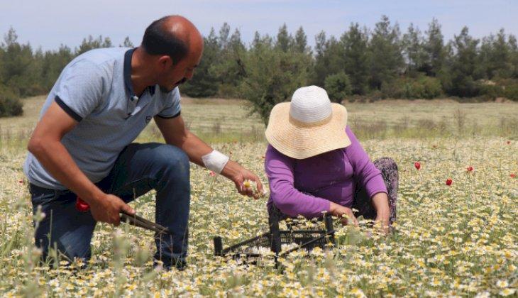 Şifa deposu Mayıs papatyasında hasat zamanı